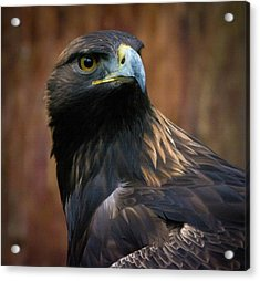Golden Eagle 4 Acrylic Print