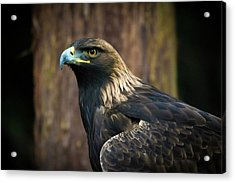Golden Eagle 5 Acrylic Print