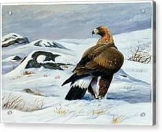 Golden Eagle Acrylic Print by Dag Peterson