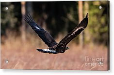 Acrylic Print featuring the photograph Golden Eagle Flying by Torbjorn Swenelius
