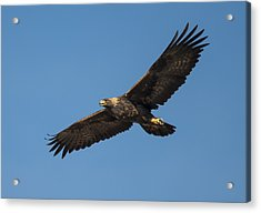 Golden Eagle In Flight Acrylic Print