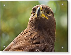 Golden Eagle Portrait Acrylic Print by Peter J Sucy