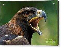 Golden Eagle - Raptor Calling Acrylic Print