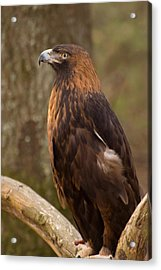 Acrylic Print featuring the photograph Golden Eagle Resting On A Branch by Chris Flees