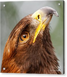 Golden Eagle - Sky Gazer Acrylic Print