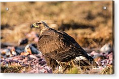 Golden Eagle's Back Acrylic Print by Torbjorn Swenelius