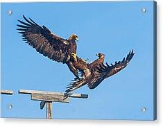Golden Eagle Courtship Acrylic Print