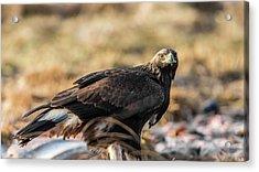 Golden Eagle's Glance Acrylic Print by Torbjorn Swenelius