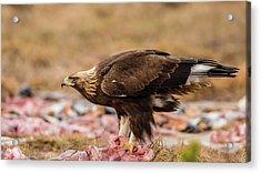 Golden Eagle's Profile Acrylic Print by Torbjorn Swenelius