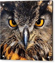 Golden Eyes - Great Horned Owl Acrylic Print