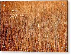 Golden Field Acrylic Print by Caroline Clark