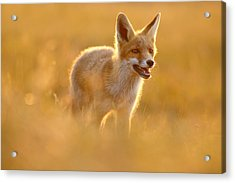 Golden Fox - Backlit Juvenile Red Fox On  A Summer Day Acrylic Print by Roeselien Raimond