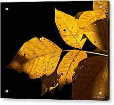 Golden Glow Acrylic Print by Christopher Holmes