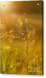 Golden Glow Acrylic Print by Sandra Cunningham