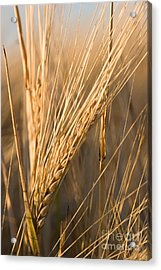 Golden Grain Acrylic Print