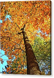 Golden Hickory Acrylic Print