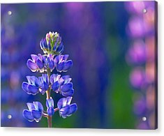 Golden Hour Lupine Acrylic Print by Mary Amerman