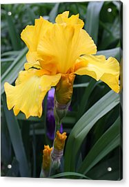 Acrylic Print featuring the photograph Golden Iris by Bruce Bley