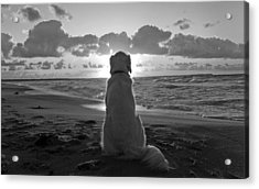 Golden Labrador Watching Sunset Acrylic Print