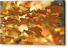 Golden Light Autumn Maple Leaves Acrylic Print by Jennie Marie Schell