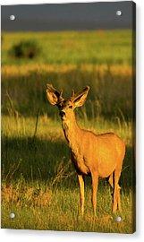 Golden Light Buck II Acrylic Print