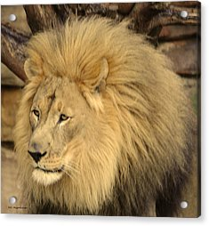 Golden Lion Acrylic Print