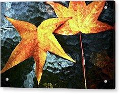Golden Liquidambar Leaves Acrylic Print