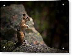 Golden Mantled Ground Squirrel Rocky Mountains Colorado Acrylic Print by Christine Till