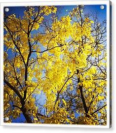 Golden October Tree In Fall Acrylic Print
