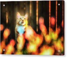 Golden Orange Tabby Acrylic Print