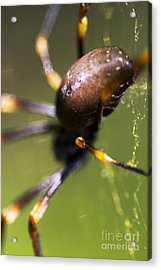 Golden Orb Spider Acrylic Print by Jorgo Photography - Wall Art Gallery