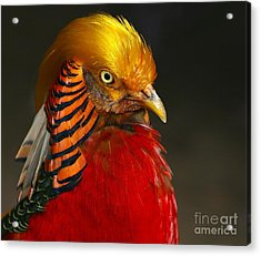 Acrylic Print featuring the photograph Golden Ornamental Pheasant by Debbie Stahre