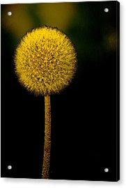 Golden Parachute Acrylic Print