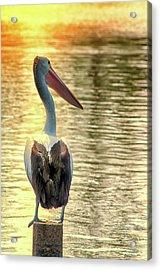 Golden Pelican Acrylic Print