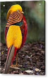 Golden Pheasant Acrylic Print by Greg Nyquist