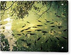 Golden Pond With Fish Acrylic Print by Menachem Ganon