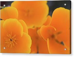 Acrylic Print featuring the photograph Golden Poppies by Roger Mullenhour