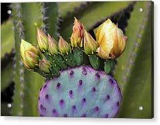 Acrylic Print featuring the photograph Golden Prickly Pear Buds  by Saija Lehtonen