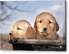 Golden Puppies Acrylic Print by Cindy Singleton