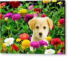 Golden Puppy In The Zinnias Acrylic Print
