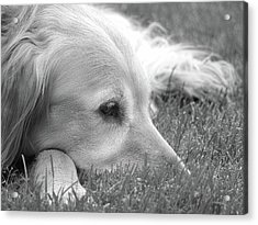 Golden Retriever Dog In The Cool Grass Monochrome Acrylic Print by Jennie Marie Schell