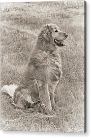 Golden Retriever Dog Sepia Acrylic Print by Jennie Marie Schell