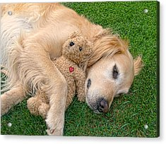Golden Retriever Dog Teddy Bear Love Acrylic Print by Jennie Marie Schell