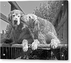 Golden Retrievers The Kiss Black And White Acrylic Print
