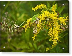 Acrylic Print featuring the photograph Golden Rod by Elsa Marie Santoro