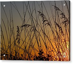 Golden Sea Oats Acrylic Print by Terri Mills