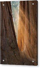 Golden Sequoia Acrylic Print