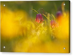 Golden Sundown Acrylic Print