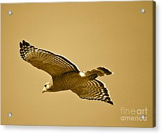Golden Sunlight On Hawk Acrylic Print by Carol Groenen
