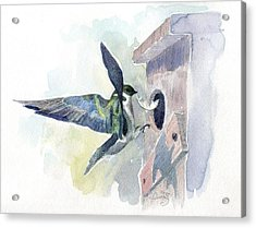Golden Swallow Acrylic Print